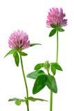 Geïsoleerdel de bloemen van de klaver stock afbeelding