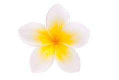 Geïsoleerdel enige gele bloem Leelawadee Stock Fotografie