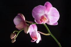 Geïsoleerdel orchideebloemen op zwarte Royalty-vrije Stock Afbeelding