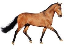 Geïsoleerdem het paard van de baai stock foto's