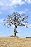 Geïsoleerden boom in het Toscaanse platteland Stock Afbeelding
