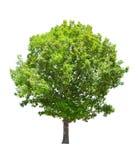 Geïsoleerden groene de zomer eiken boom Stock Afbeeldingen