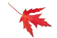 Geïsoleerden het blad van de esdoorn Rood De herfst Royalty-vrije Stock Afbeeldingen
