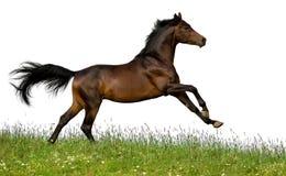 Geïsoleerden het paard van de baai Royalty-vrije Stock Afbeeldingen