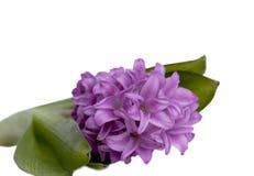 Geïsoleerden hyacint royalty-vrije stock foto