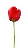 Geïsoleerden tulp stock afbeelding