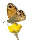 Geïsoleerden vlinder op bloem stock illustratie