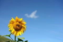 Geïsoleerden zonnebloem in blauwe hemel royalty-vrije stock foto