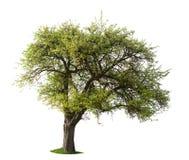 Geïsoleerdeo appelboom stock afbeeldingen