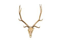 Geïsoleerdeo de schedel van elanden Stock Fotografie