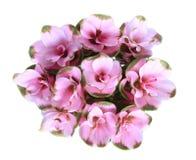 Geïsoleerdeo de tulp van Siam. Royalty-vrije Stock Foto's