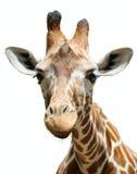 Geïsoleerdeo giraf, royalty-vrije stock afbeeldingen