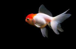 Geïsoleerdeo goudvis royalty-vrije stock fotografie