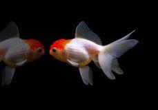Geïsoleerdeo goudvis stock afbeelding