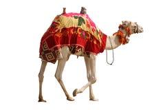 Geïsoleerdeo kameel Royalty-vrije Stock Foto's