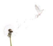 Geïsoleerdeo witte paardebloem en duif Stock Afbeelding