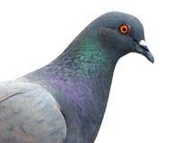 Geïsoleerdep duif Royalty-vrije Stock Afbeeldingen