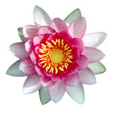 Geïsoleerdep lotusbloem met waterdalingen royalty-vrije stock foto