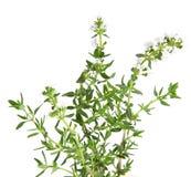 Geïsoleerder brunch van verse bloeiende thyme, Stock Fotografie