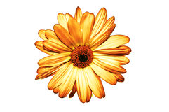 Geïsoleerder gele bloem op witte achtergrond Stock Foto's