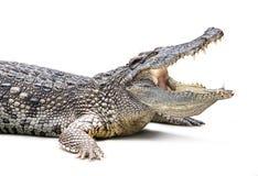 GeïsoleerdeR krokodil royalty-vrije stock fotografie