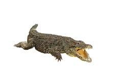 GeïsoleerdeR krokodil royalty-vrije stock foto's