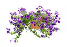 Geïsoleerder petunia Stock Afbeeldingen