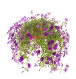 Geïsoleerder petunia Stock Foto's