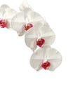 Geïsoleerder witte orchidee Stock Foto