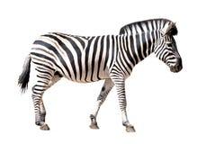Geïsoleerder zebra Royalty-vrije Stock Afbeelding