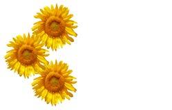 Geïsoleerder zonnebloemen Stock Afbeeldingen