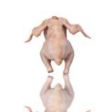 Geïsoleerdes kip stock afbeelding