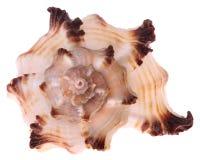 Geïsoleerdes zeeschelp Stock Afbeelding
