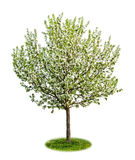 Geïsoleerdet bloeiende appelboom Royalty-vrije Stock Foto