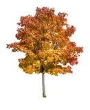 Geïsoleerdet de boom van de esdoorn stock afbeeldingen