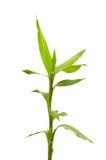 Geïsoleerdet de takken van het bamboe Royalty-vrije Stock Foto
