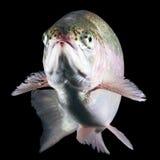 Geïsoleerdet de vissen van de forel Royalty-vrije Stock Foto