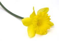 Geïsoleerdet gele narcis Royalty-vrije Stock Afbeelding