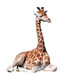 Geïsoleerdet jonge giraf Stock Foto's