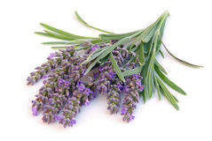 Geïsoleerdet lavendel Stock Fotografie