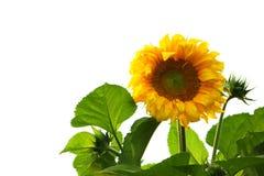 Geïsoleerdet zonnebloem Stock Fotografie