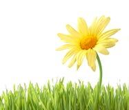 Geïsoleerdeu Daisy met gras Stock Fotografie