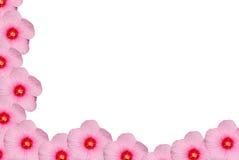 Geïsoleerdeu roze hibiscus stock foto's