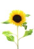 Geïsoleerdev zonnebloem Stock Fotografie