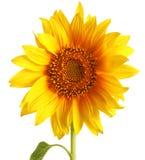 Geïsoleerdev zonnebloem Stock Foto