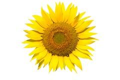 Geïsoleerdev zonnebloem Stock Afbeelding