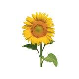Geïsoleerdev zonnebloem Royalty-vrije Stock Afbeeldingen