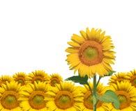 Geïsoleerdev zonnebloem Stock Afbeeldingen