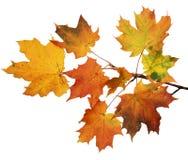 Geïsoleerdew de herfstbladeren Royalty-vrije Stock Afbeelding