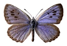 Geïsoleerdew grote blauwe vlinder Stock Foto's